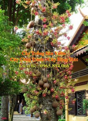 Cung cấp cây sala công trình, cây ngọc kỳ lân, cây thala, cây đầu lân, cây ngọc kỳ lân công trình