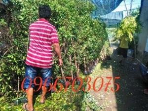 Cây xanh hàng rào
