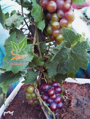 Nho pháp trái xum xuê trưng  Tết tài lộc đầy nhà