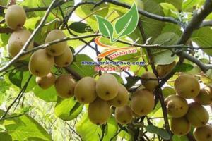 Kiwi trái cây đặc trưng của New Zealand