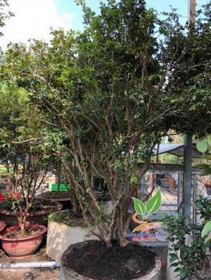Nho thân gỗ tứ quý trái quanh năm
