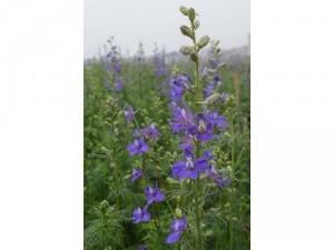 Cây giống hoa Violet, hoa nữ hoàng xanh, hoa mua tím