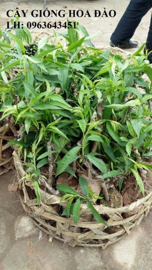 Cung cấp cây giống hoa đào: đào bích, đào phai, đào bạch, đào đỏ, đào 5 cánh, đào hoa kép, uy tín