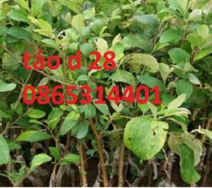 Kỹ thuật trồng và chăm sóc cây táo, áp dụng cho tất cả loại táo trồng trên lãnh thổ việt nam