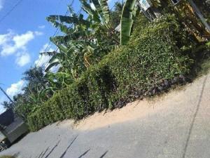 Hàng rào cây xanh