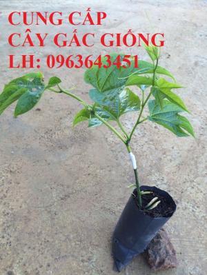 Cung cấp cây giống gấc: Gấc lai cao sản, gấc nếp đỏ, gốc Thái cao sản, chuẩn giống, giá tốt, uy tín