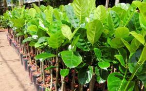 Địa chỉ cung cấp giống mít thái siêu sớm cho quả nhanh sau 1 năm trồng.