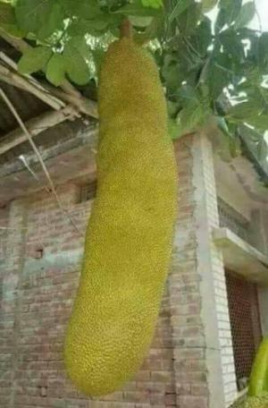 Cây giống mít trái dài malaixia chuẩn giống nhập khẩu f1. địa chỉ mua cây giống tốt.