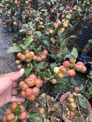 Cây táo lùn mỹ