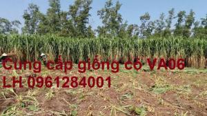 Chuyên cung cấp giống cỏ VA06, giống cỏ chăn nuôi, số lượng lớn, giá cực chuẩn, bao chất lượng