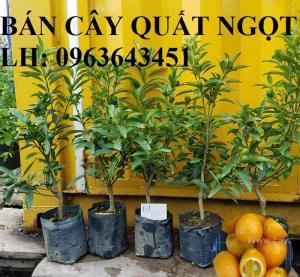 Cung cấp cây giống quất ngọt, cây giống tắc ngọt, cây quất ngọt đang có quả, chuẩn giống, giá tốt