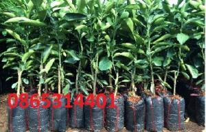 Bưởi da xanh cung cấp cây giống chuẩn f1, giá hợp lý.
