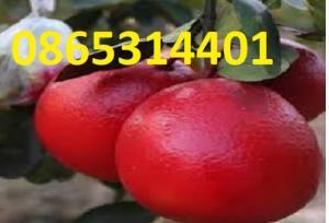 Giống bưởi đỏ luận văn, cây giống f1. địa chỉ cung cấp giống chuẩn