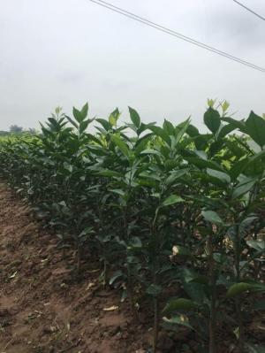 Cung cấp giống cam đường canh, cây giống chuẩn f1. giao hàng toàn quốc.