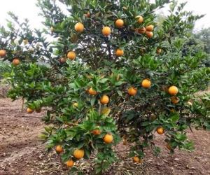 Những lưu ý khi trồng và chăm sóc cây cam vinh giống cây chất lượng nhất.