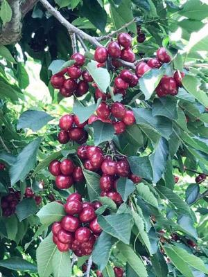 Cherry mỹ cây giống