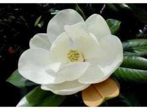Hoa sen thân gỗ