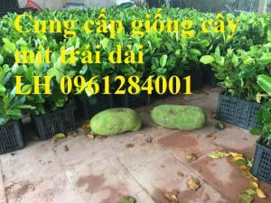 Cung cấp giống cây mít trái dài Malaysia, mít trái dài, giống cây mít uy tín, chất lượng