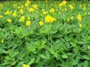 Cỏ đậu phộng cỏ lạc