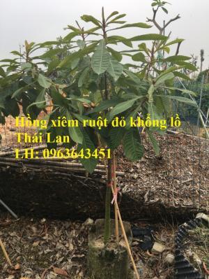 Cung cấp cây giống hồng xiêm xoài quả to, hồng xiêm ruột đỏ khổng lồ Thái Lan, giống sapoche Thái