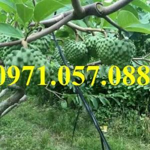 Giống cây na bở Đài Loan