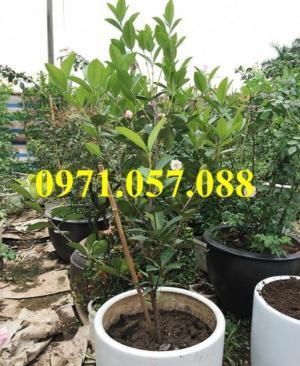 Giống cây chery brazil