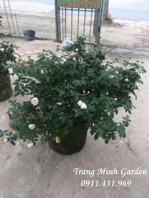 Hồng cổ Vân Khôi cho người yêu hoa hồng truyền thống.