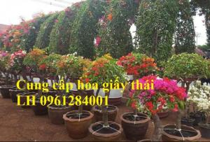 Cây hoa giấy thái, hoa giấy thái cánh kép, nhiều màu, nhiều kích thước, số lượng lớn, giao hàng toàn quốc