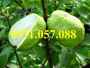 Giống cây ổi Đài Loan