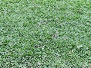 Vườn cỏ lá tre