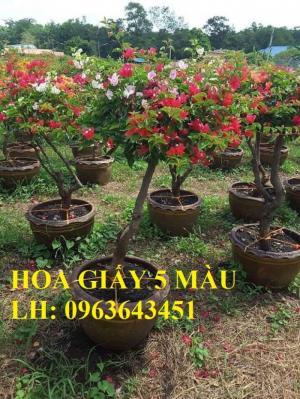 Cung cấp cây hoa giấy Thái, hoa giấy 5 màu, hoa giấy thế nhiều màu siêu đẹp, giá tốt, giao toàn quốc