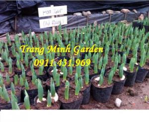 Sỉ lẻ củ giống Tuylip chất lượng, cung cấp hoa thương phẩm, kỹ thuật trồng Tuylip mang lại hiệu quả cao.