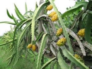 Cây giống Thanh Long vỏ vàng - HVNN Việt Nam