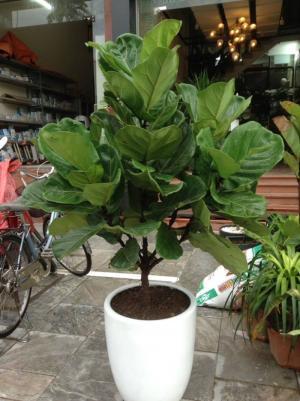 Cây bàng Singapore( Ficus Lyrata)