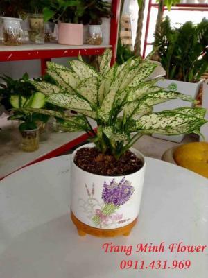 Cây Ngọc Ngân được trồng trong nhà