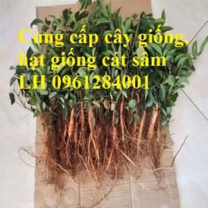 Cung cấp cây giống, hạt giống cát sâm, hàng loại 1, số lượng lớn, giao hàng toàn quốc