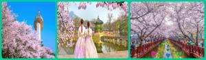 Mùa hoa anh đào Hàn Quốc 2019 Seoul – Nami – Everland – Youido