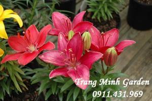 Kỹ thuật trồng và chăm sóc hoa Lily, bán củ ly giống chất lượng cao