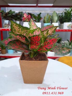 Cây Vạn Lộc, cây nội thất chất lượng cao