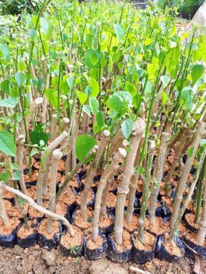 Vườn ươm cây giống rau bò khai