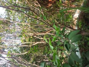 Nho thân gỗ siêu trái quanh năm