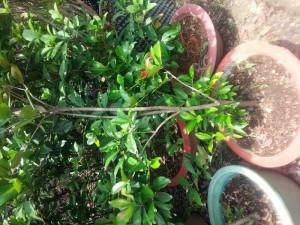 Cherry brazil nhiệt đới