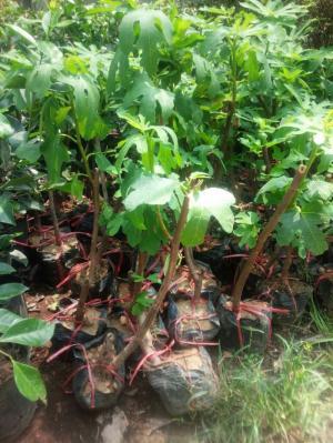 sung mỹ-cây phong thủy- giàu dinh dưỡng