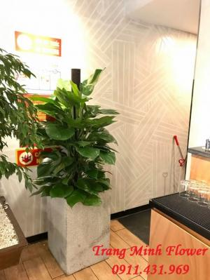 Vạn niên thanh leo cột, cây nội thất trồng trong nhà