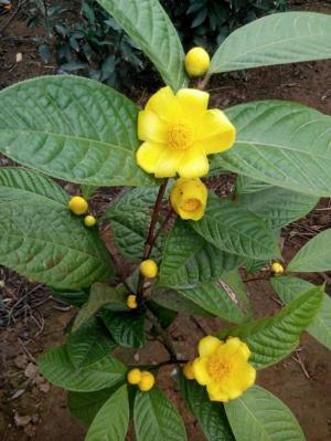 Cây giống trà hoa vàng - giống cây dược liệu