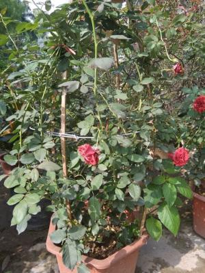 Hoa Hông Leo Cổ Hải Phòng - Nữ hoàng các loài hoa