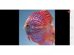 Cá Dĩa Bồ Câu Đỏ