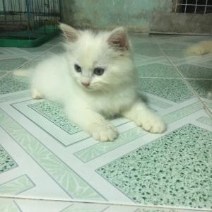 bán 2 Bé Mèo Anh LD 1 tháng 5 ngày  tuổi 2triệu/bé