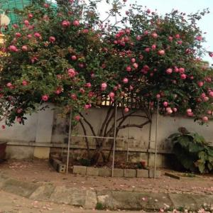 Bán cây hoa hồng cổ
