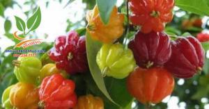 Surinam cherry độc lạ